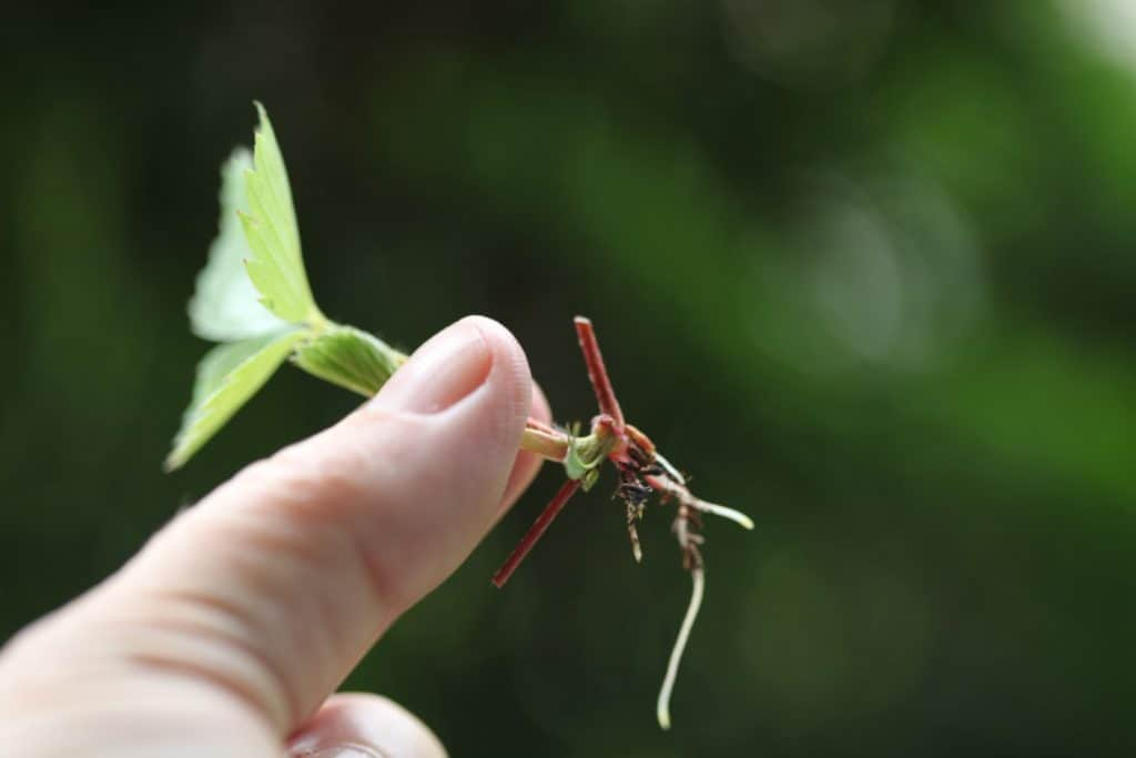 a hand holding a wild strawberry plantlet