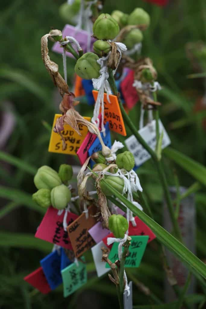 daylily pods and labels