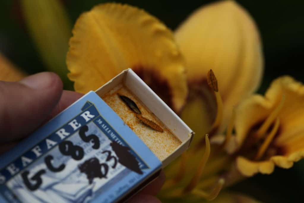 a hand showing daylily pollen stored in a match box