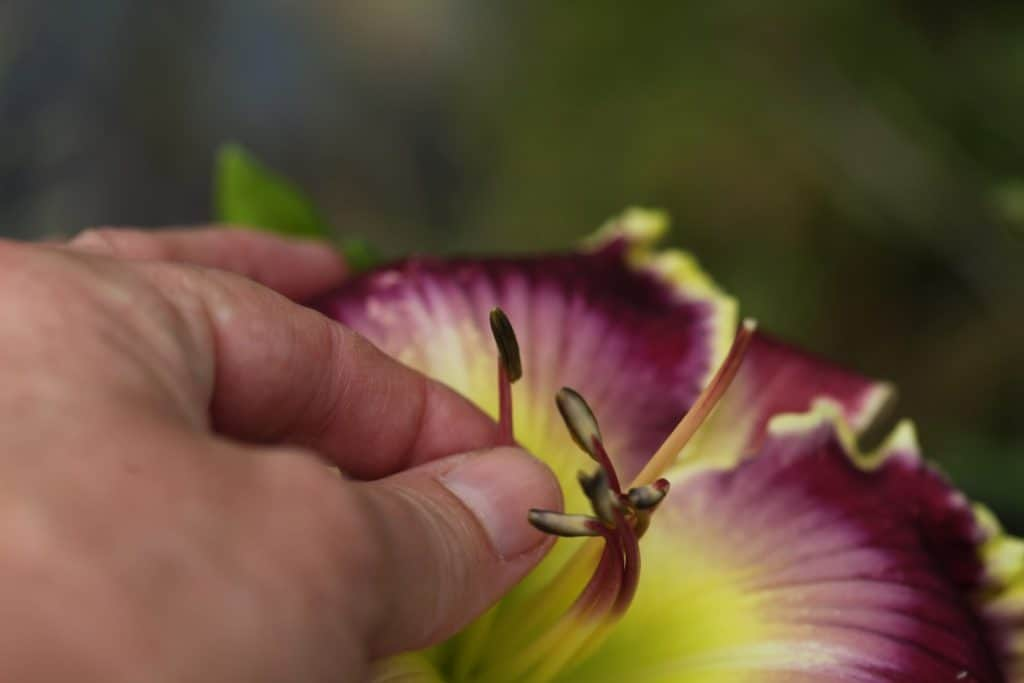 a hand holding a daylily stamen with anther that is closed