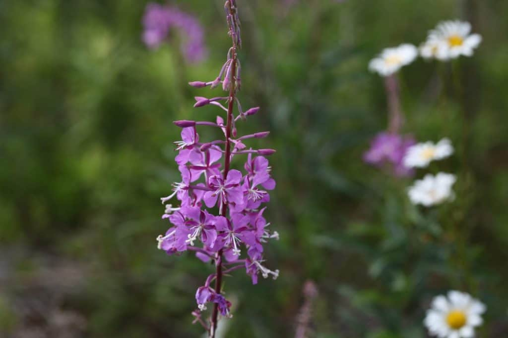 purple fireweed blooms growing outside, against a blurred background