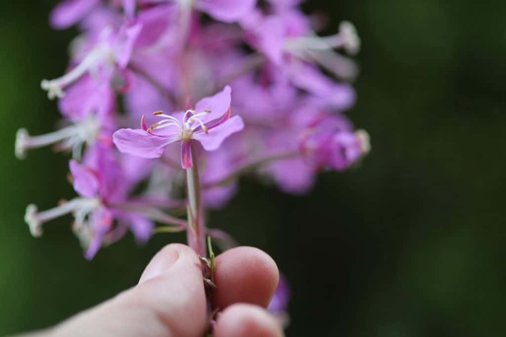 a hand holding purple flowers