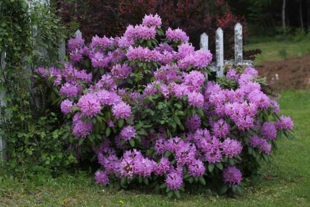a rhododendron shrub blooming purple blossoms in the garden, showing how fast do rhododendrons grow