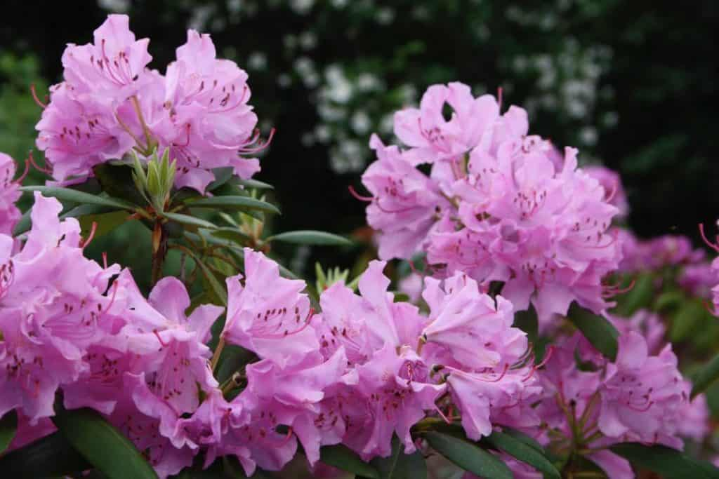 pink blooms on a rhododendron, showing how fast do rhododendrons grow