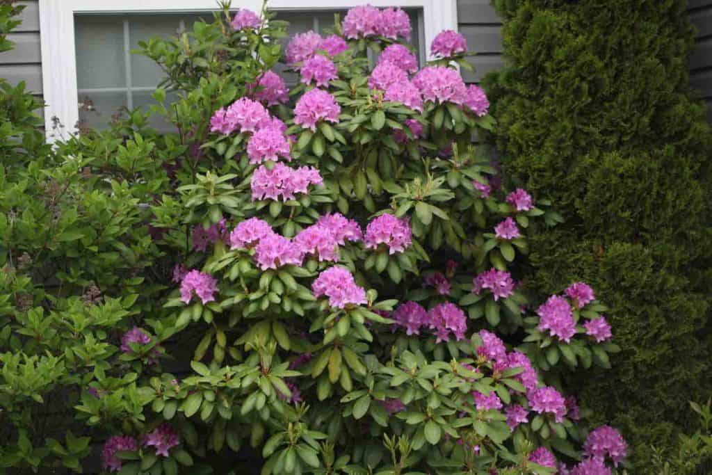 rhododendron with purple blooms growing in a garden, showing how fast do rhododendrons grow