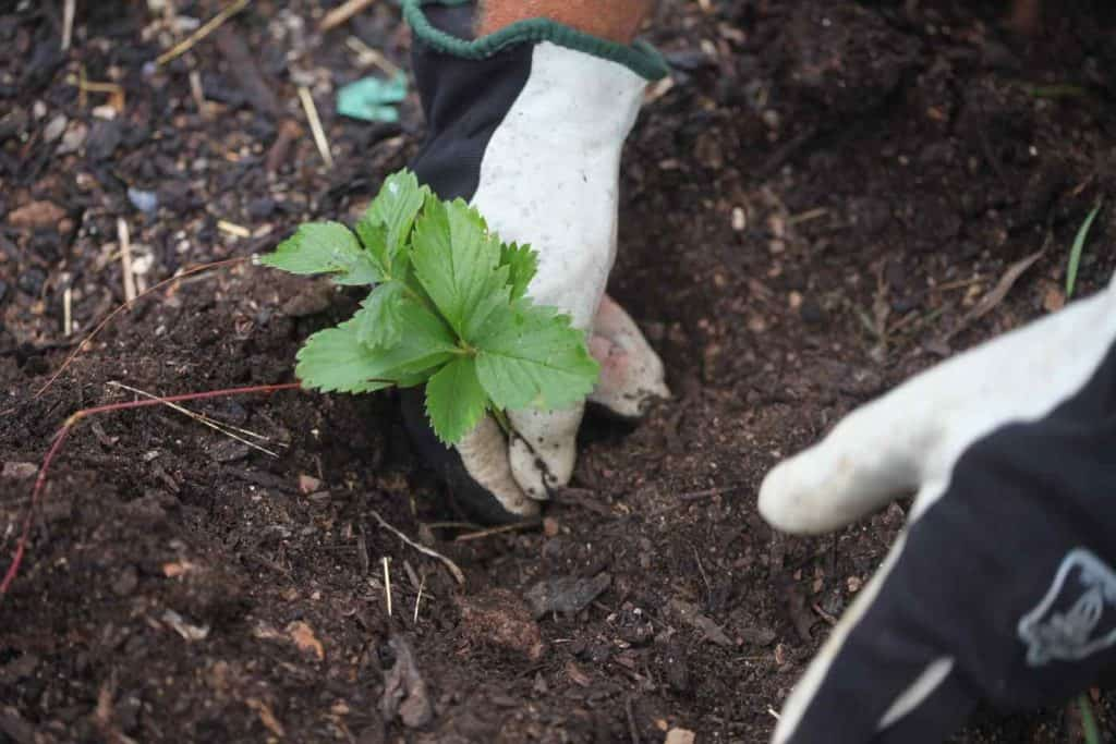 two gloved hands transplanting wild strawberry into the soil, showing how to grow wild strawberries