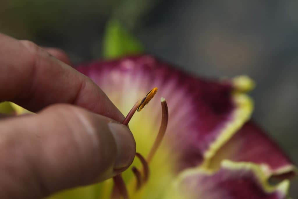 a hand pollinating the pistil with an anther and pollen from another daylily, showing how to hybridize daylilies