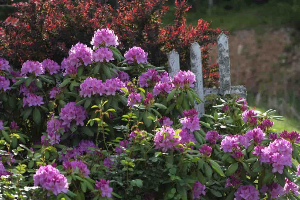 rhododendron in the garden starting to bloom pink blossoms