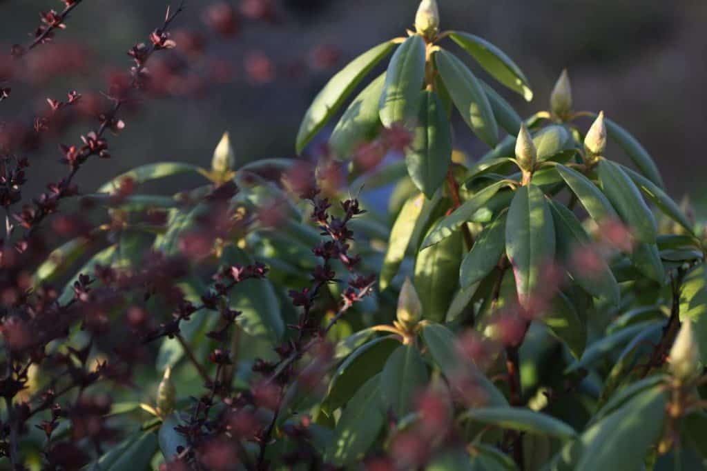 green evergreen leaves of a rhododendron next to burgundy stems of a different bush