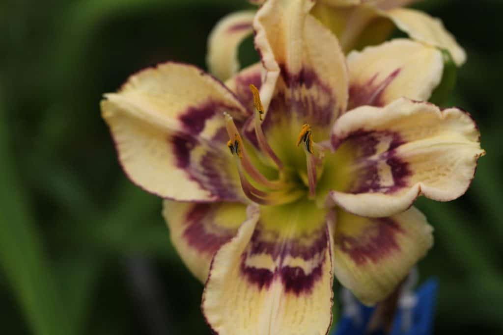 a cream coloured daylily with a burgundy complex eye zone, showing how to hybridize daylilies