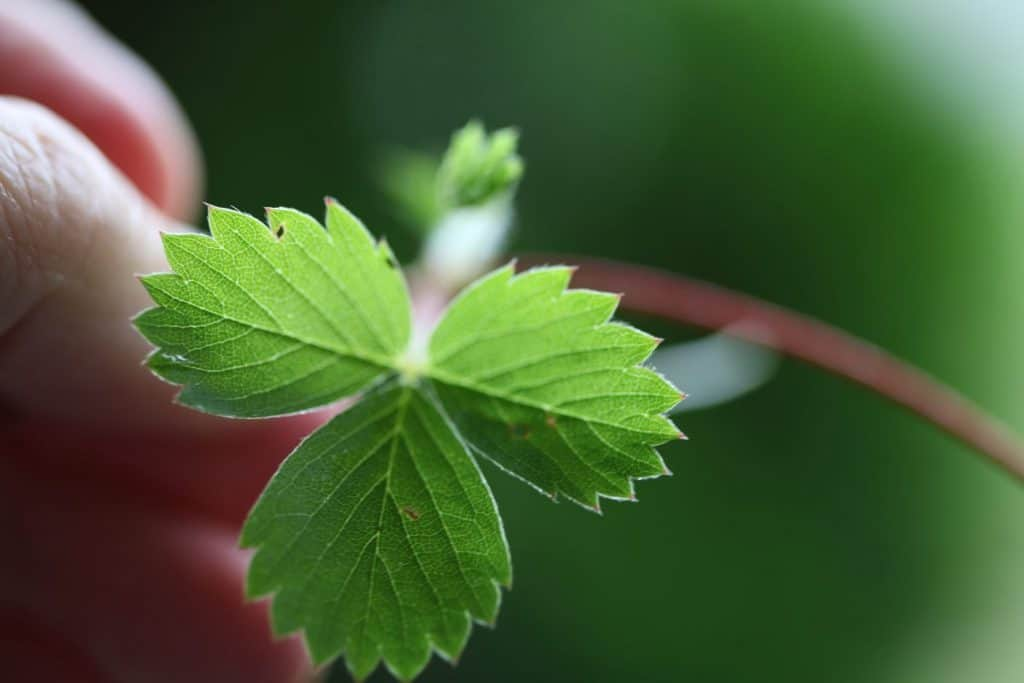 hand holding a three lobed wild strawberry leaf with serrated edges