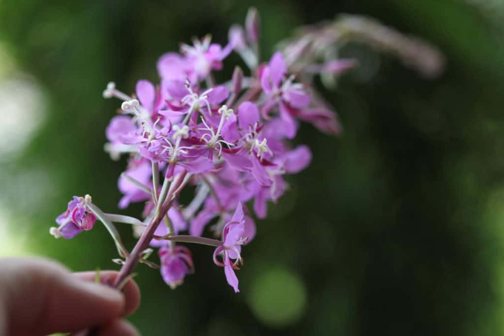 a hand holding a purple fireweed bloom against a green blurred background