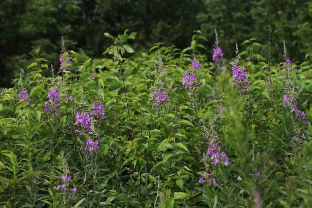 a stand of fireweed growing