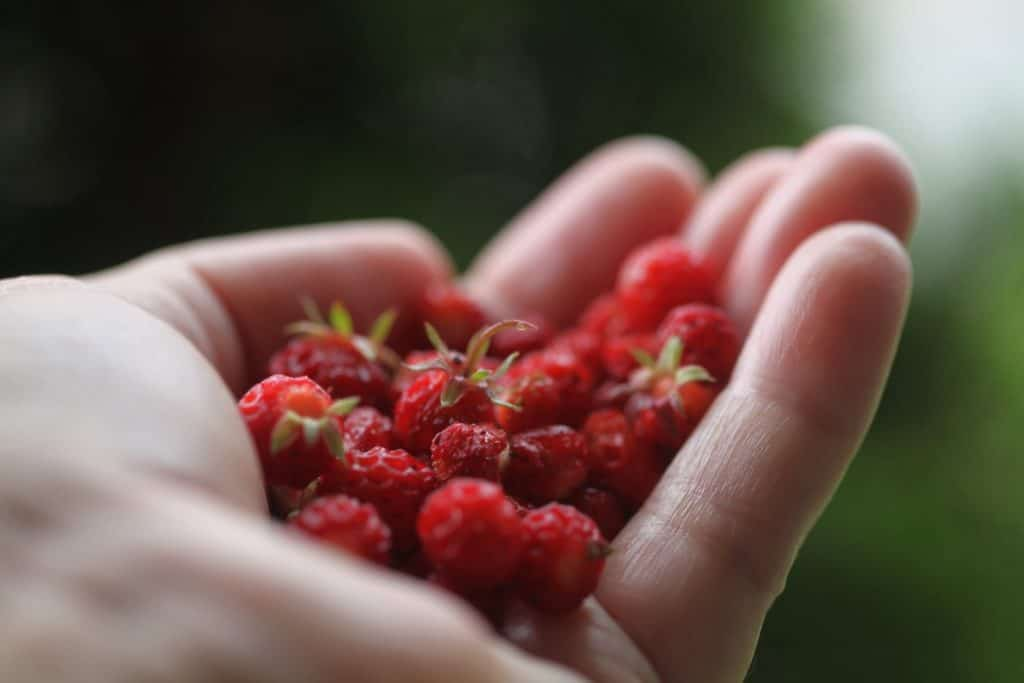 a hand holding a handful of red wild strawberries against a green blurred background