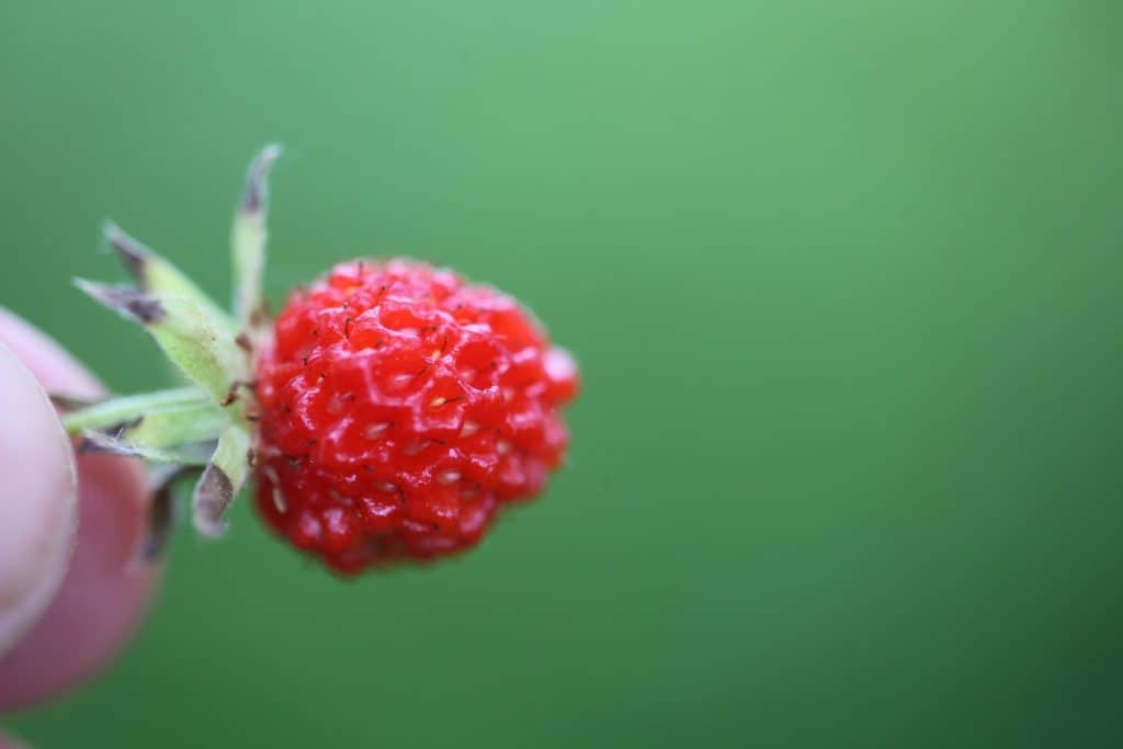 small red wild strawberry being held up against a blurred green background