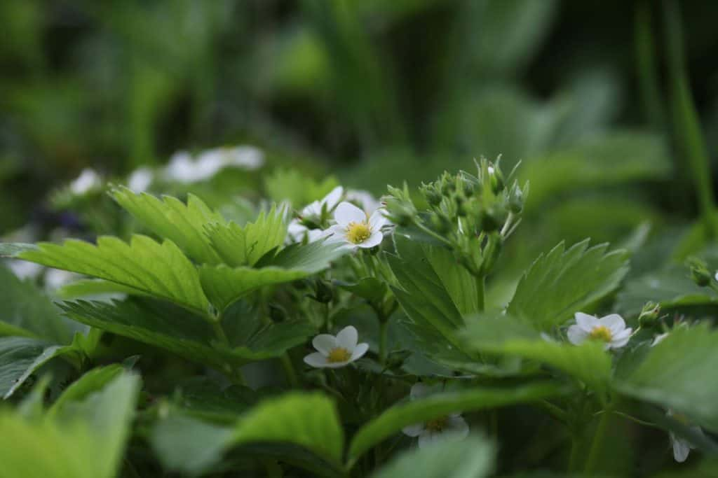 wild strawberry flowers, leaves and flower clusters