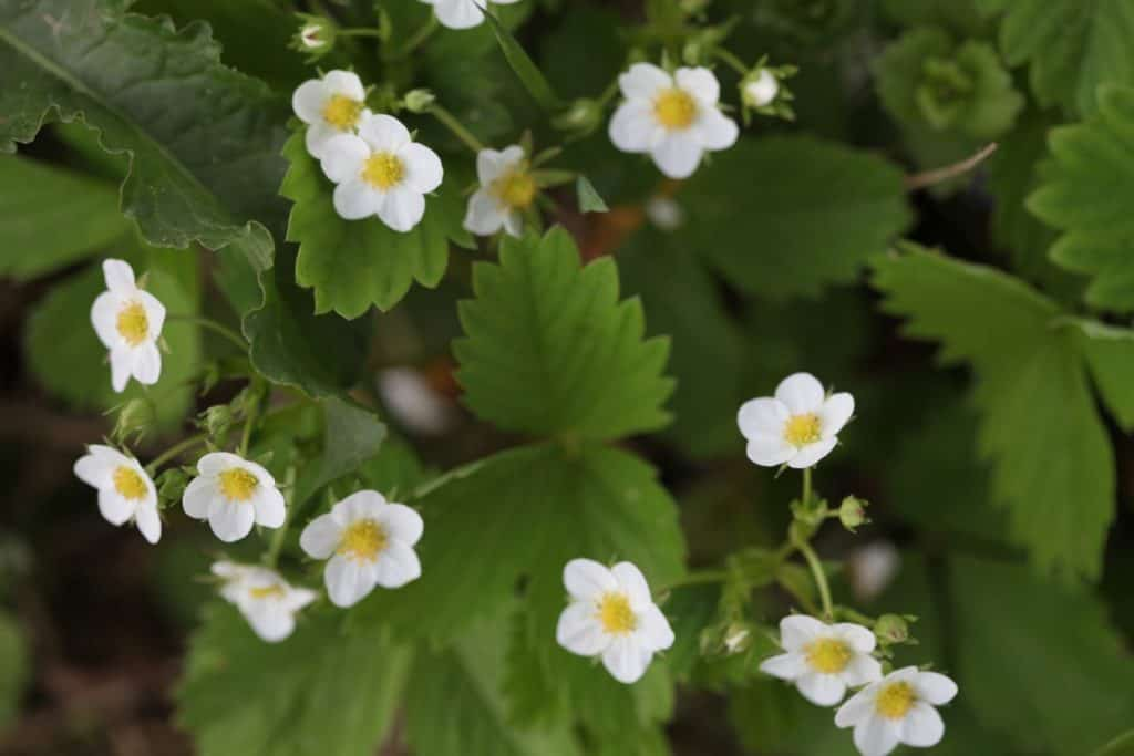 five petalled white wild strawberry flowers