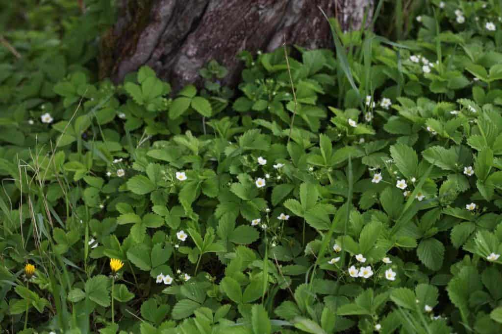 wild strawberry ground cover growing under a tree