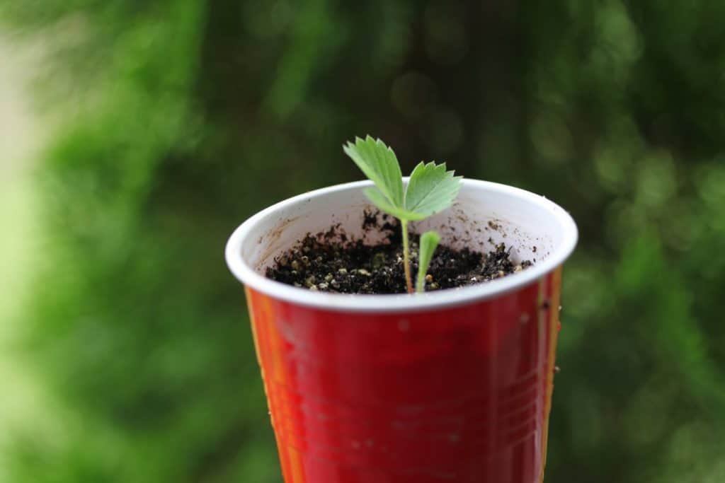 wild strawberry plant in a red solo cup with soil against a blurred green background