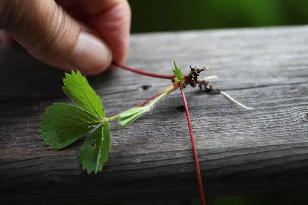 wild strawberry runner with plant, on a grey wooden railing and a hand in the background holding the runner