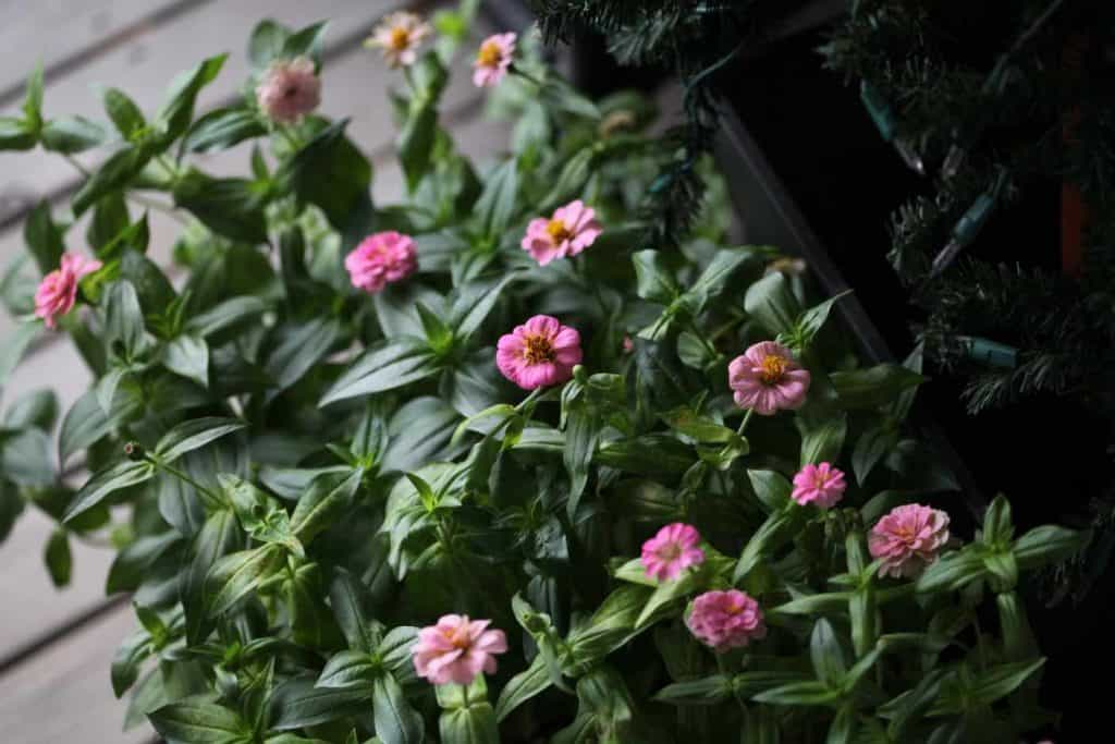 a tray of green zinnia seedlings with pink flowers, showing how to grow zinnias from seed