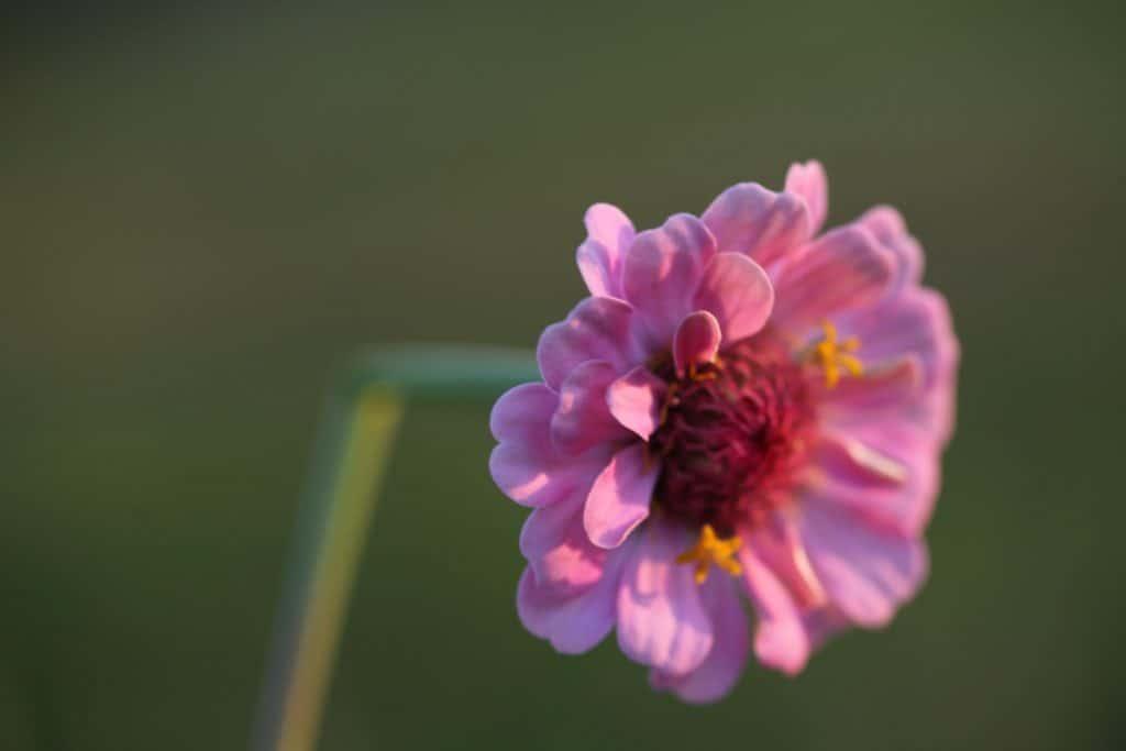 a broken stem of a pink flower