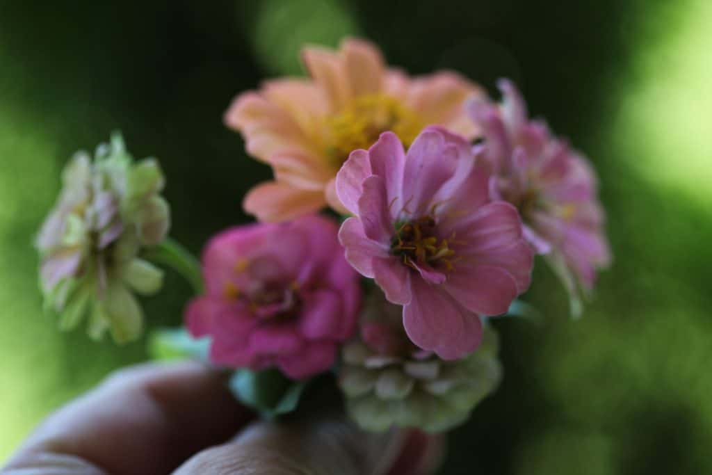 a small posey of pink and orange zinnias against a blurred green background