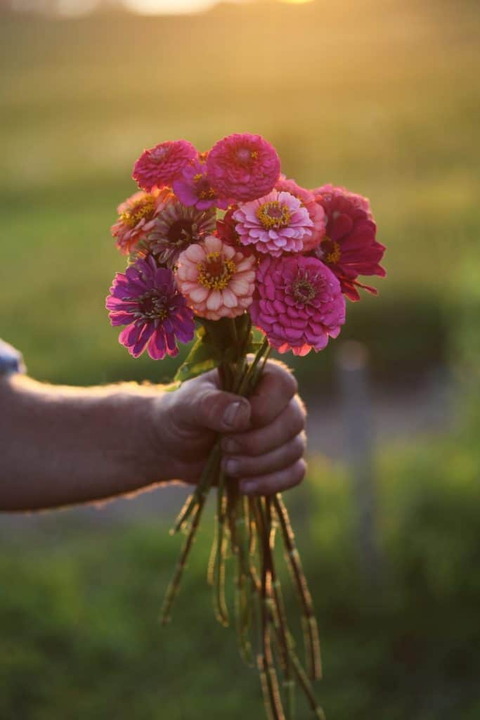 a hand holding a bouquet of colourful zinnia flowers against a blurred green background