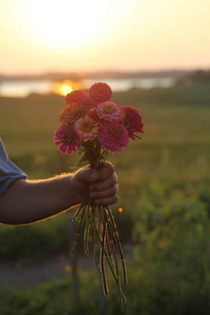 a hand holding a bouquet of colourful zinnias in front of a sunset reflected on the water and the field