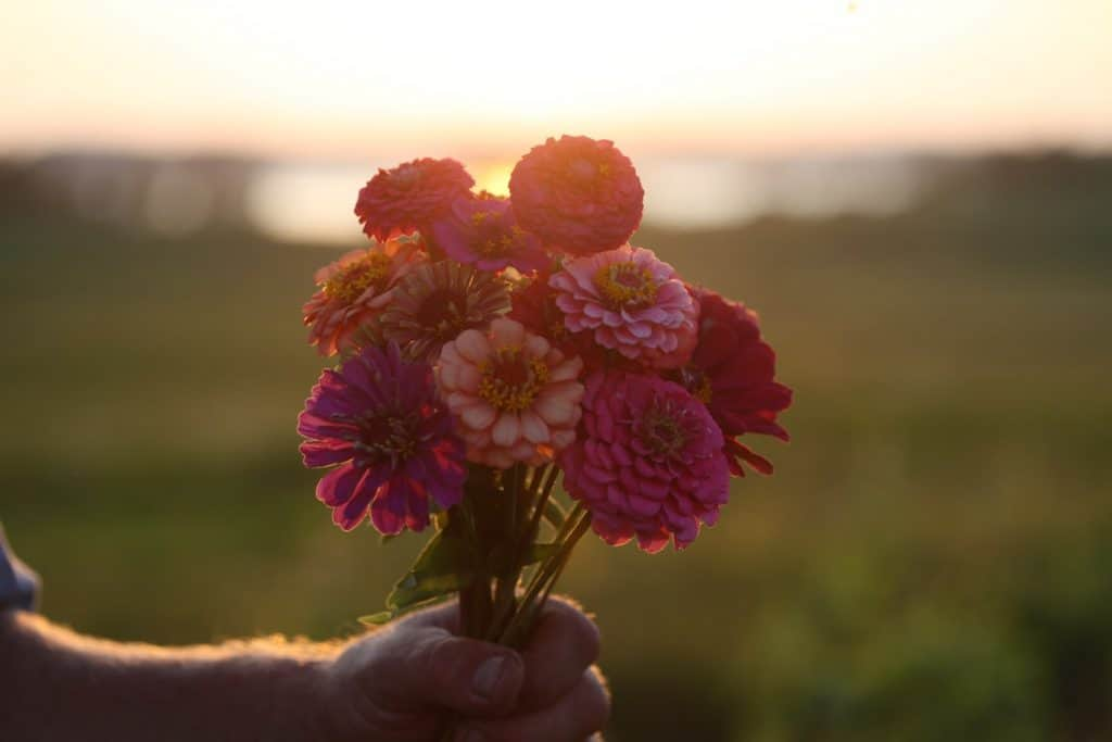 a hand holding a bouquet of pink and orange zinnia flowers against a sunset and landscape, showing how to grow zinnias