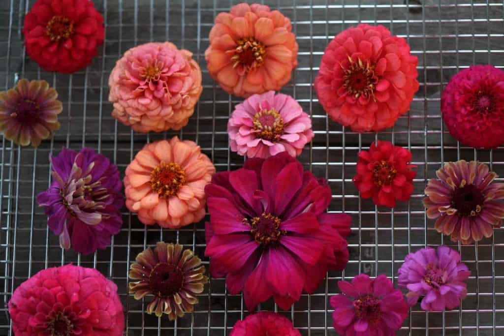 colourful zinnia blooms on a metal rack