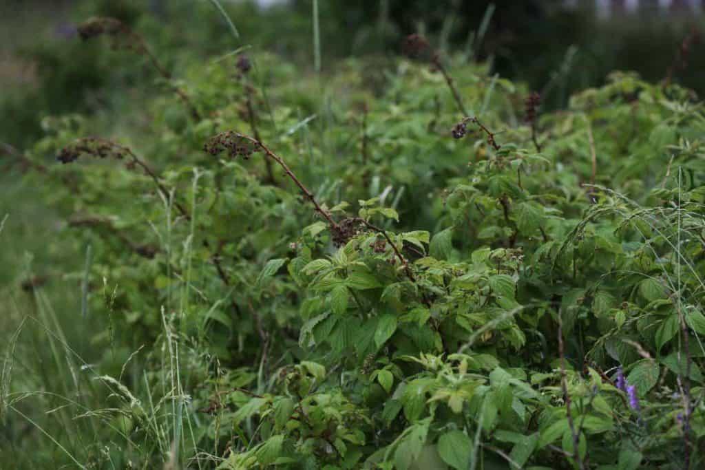 last year's dead tips on ever bearing raspberries