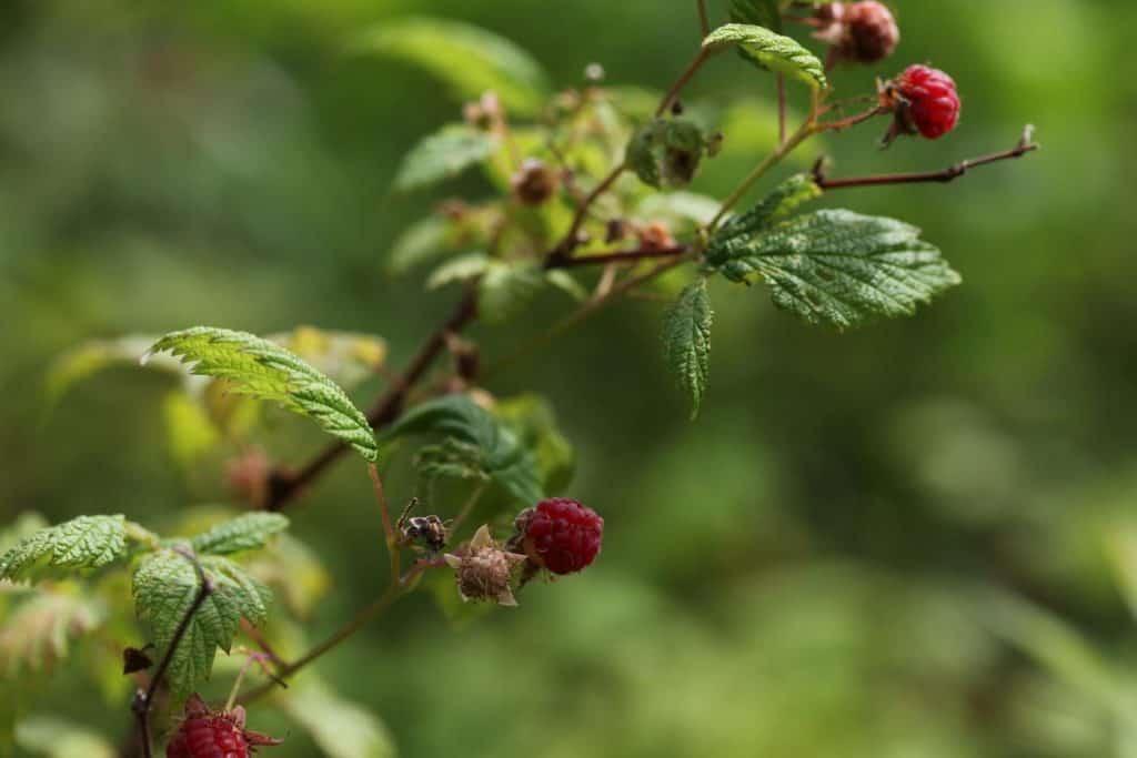 raspberries growing on a bush