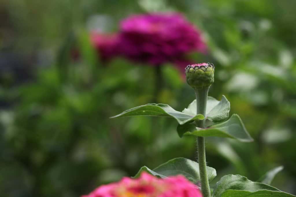 a zinnia stem with a flower bud, showing how to grow zinnias