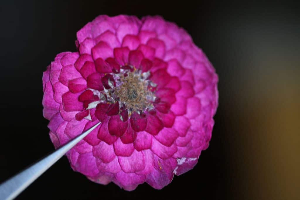 a pressed pink zinnia held up with a pair of tweezers
