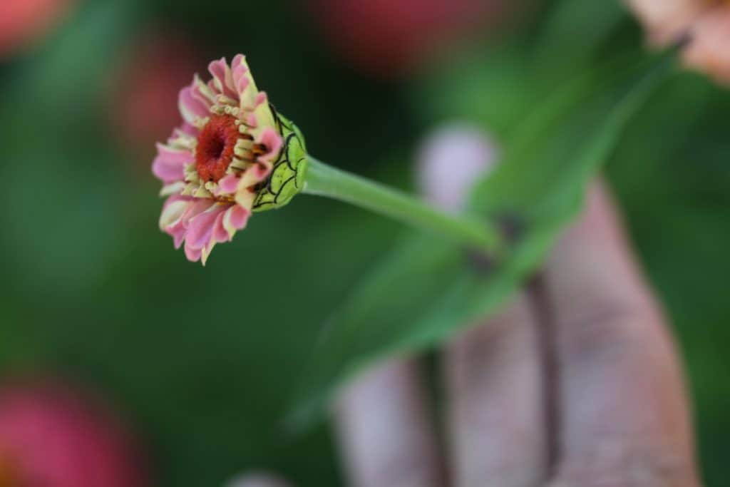 a hand holding a zinnia stem, performing the wiggle test to check maturity of the stem