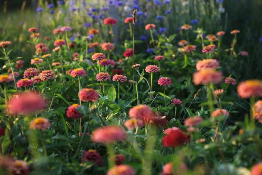 a large patch of salmon coloured zinnias in the garden