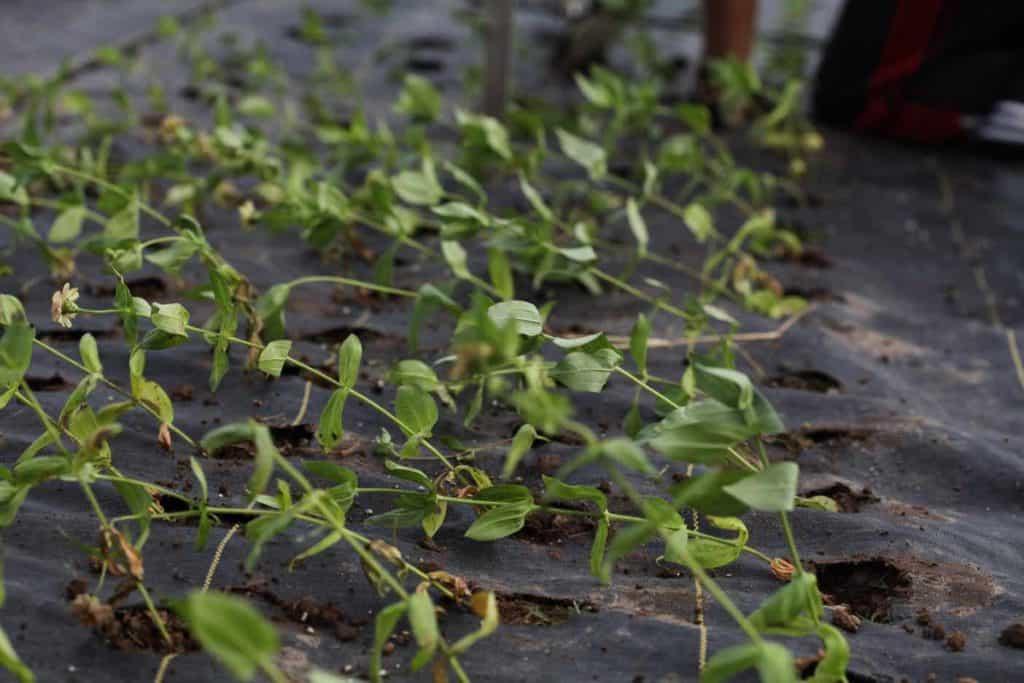 zinnia seedlings planted in fabric