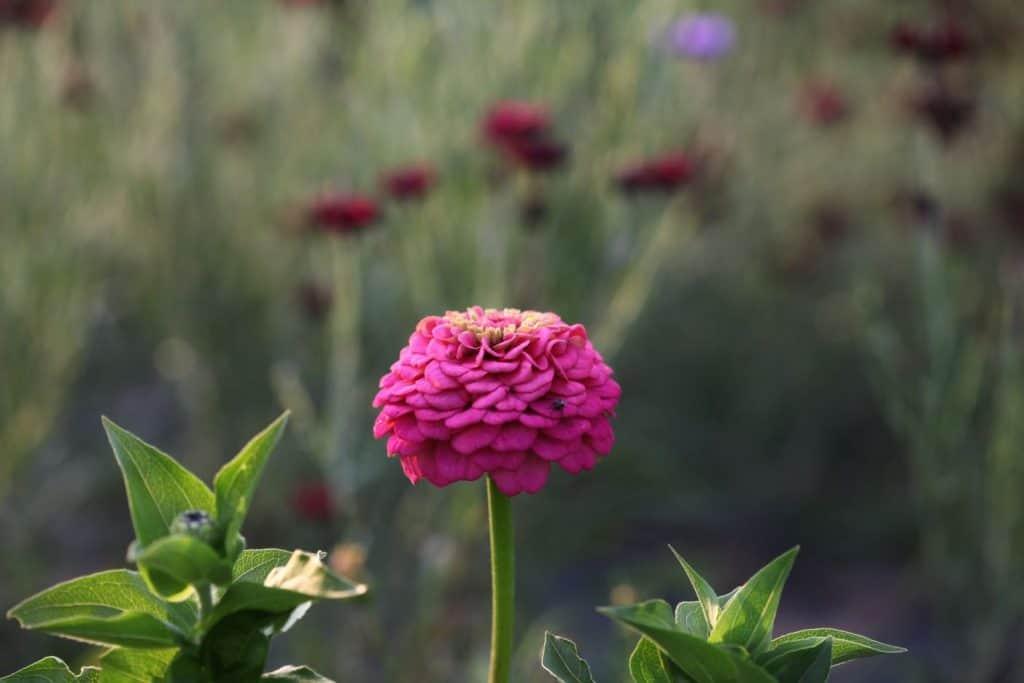 a pink zinnia growing in the garden