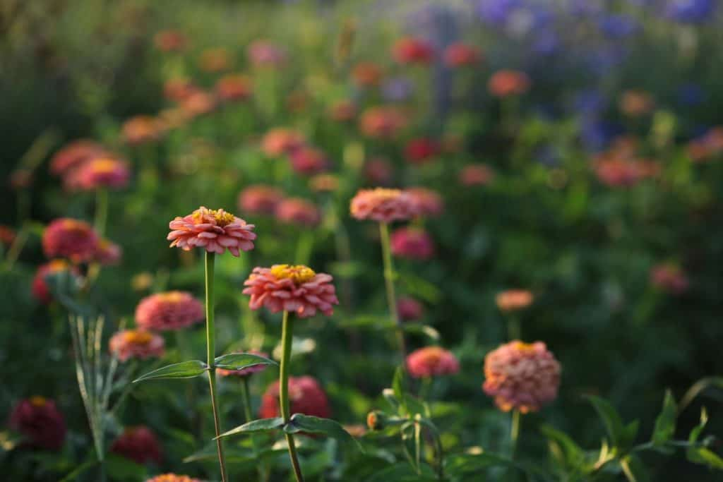 a group of orange zinnias in the garden, showing how to grow zinnias