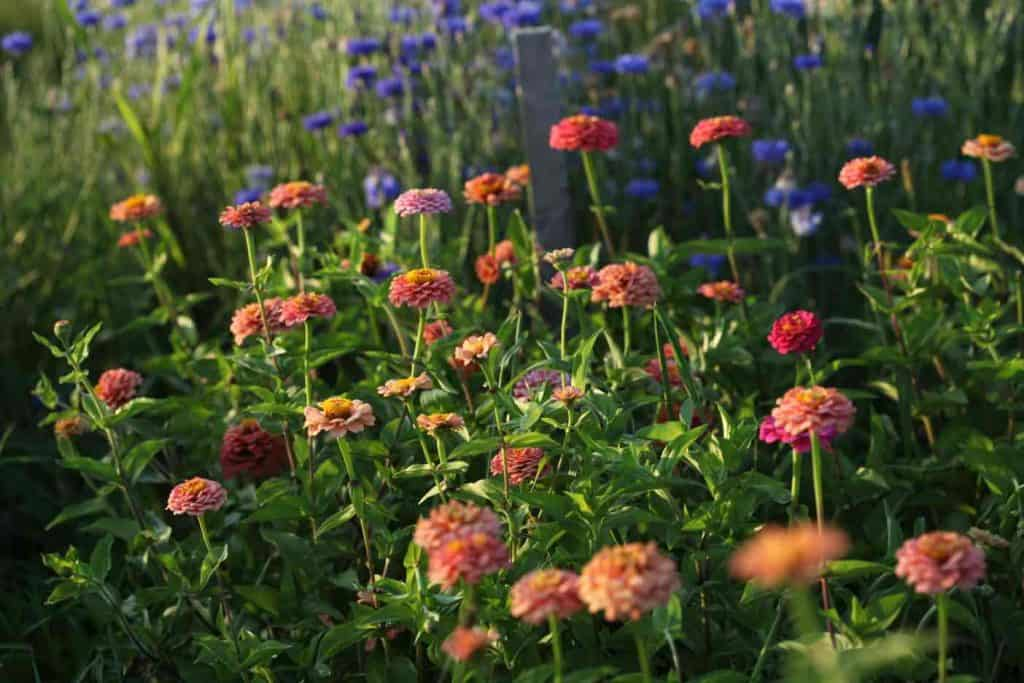 orange zinnias and blue bachelor buttons growing in the garden