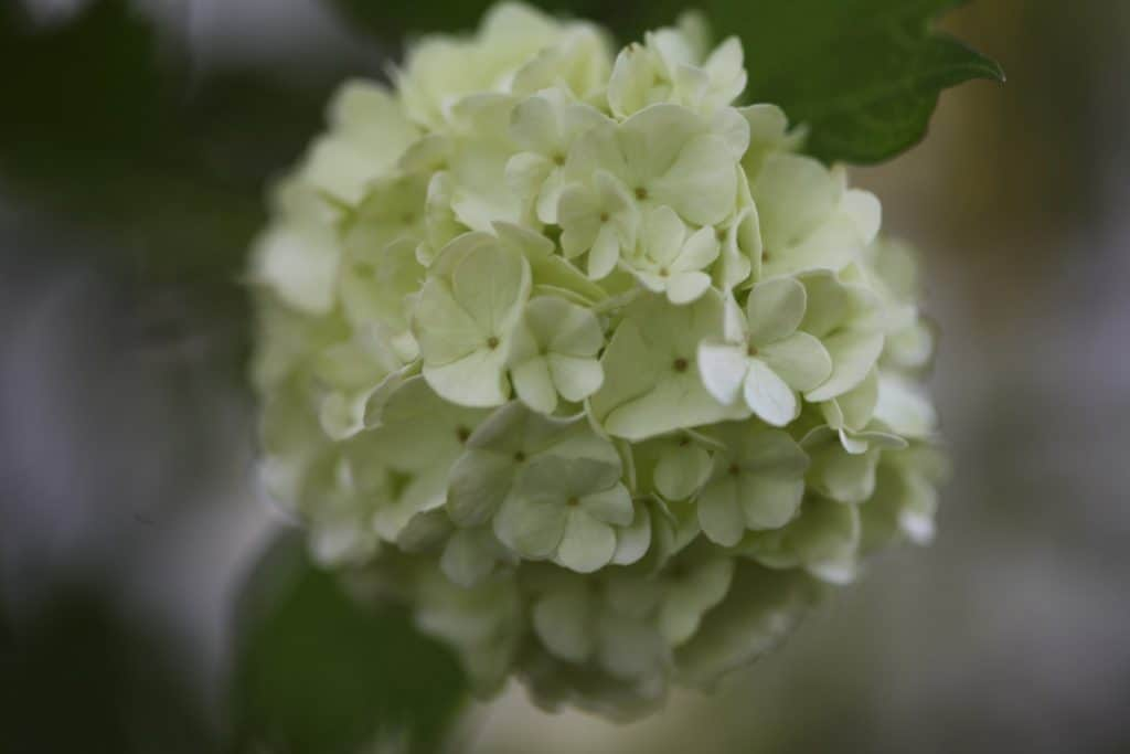 a large creamy round flower with many petals against a blurred background