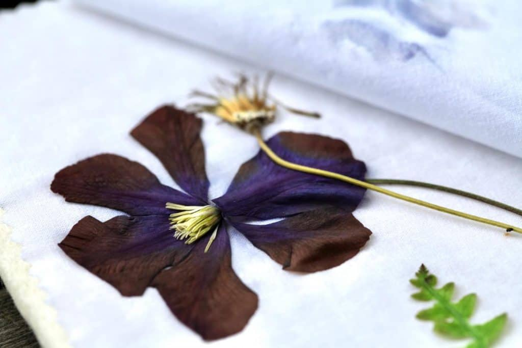 clematis bloom dried in a microwave press