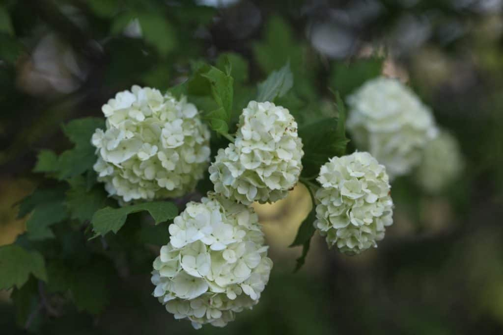 white round flowers growing on a snowball tree against green leaves and a blurred green background