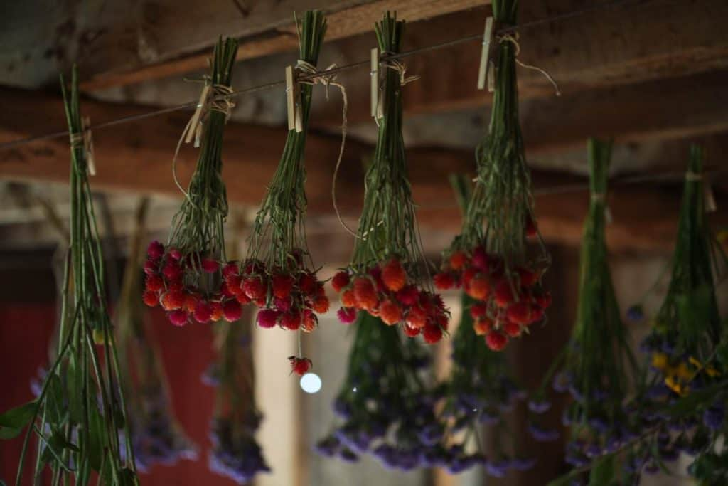 pink and red globe amaranth and purple statice hanging to dry in the rafters of a barn