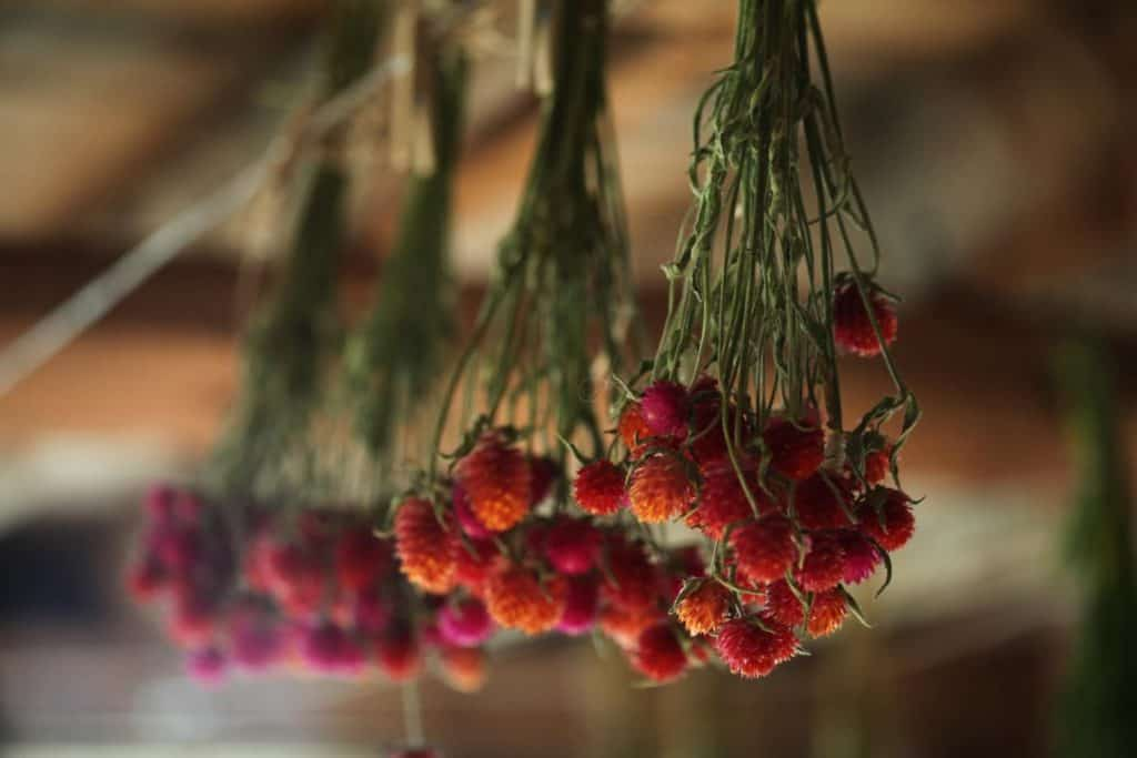 drying globe amaranth by hanging upside down