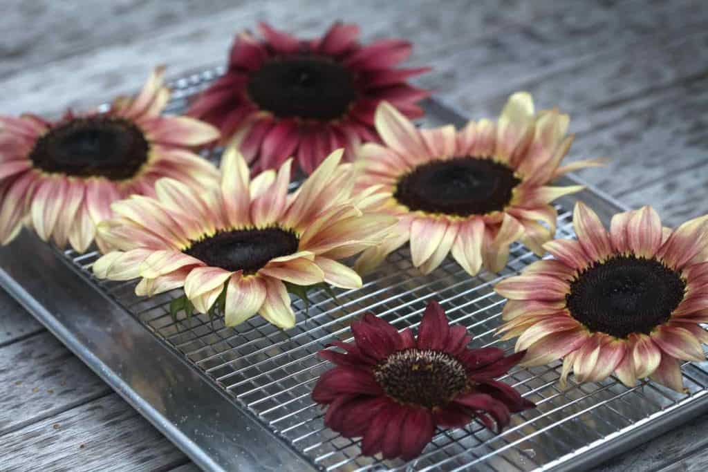 plum coloured sunflowers being prepared for oven drying