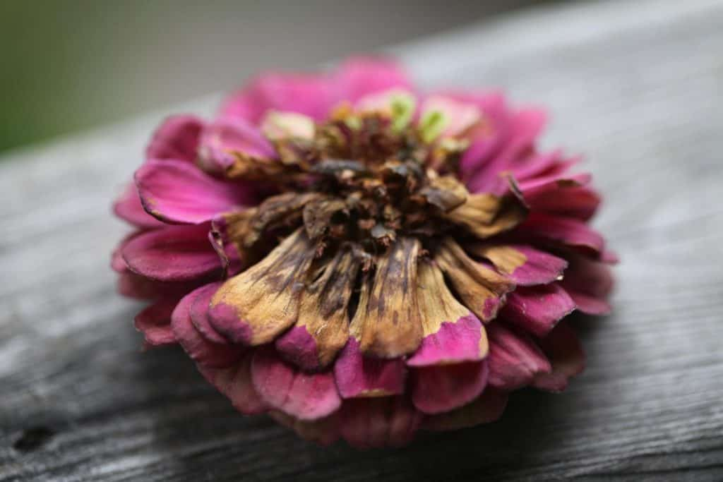 a pink zinnia with a brown burn mark from pressing with an iron