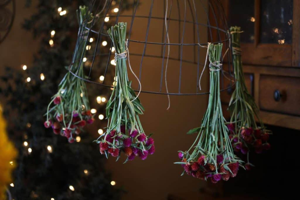 globe amaranth hanging from a wire basket with fairy lights in the background