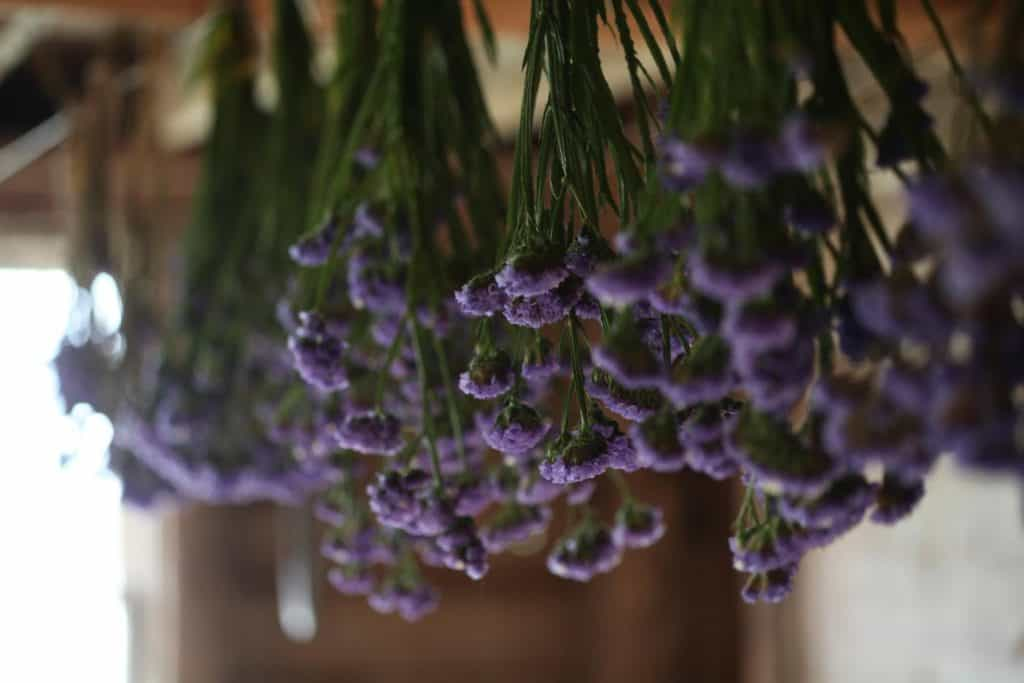 hanging purple statice to dry